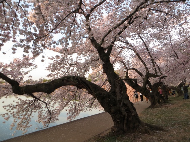 cherry blossoms 019